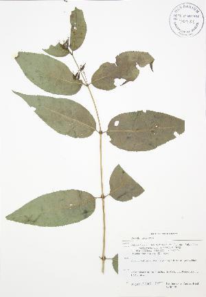 (Diervilla - BAR159)  @11 [ ] Copyright (2009) Steven Newmaster University of Guelph BIO Herbarium