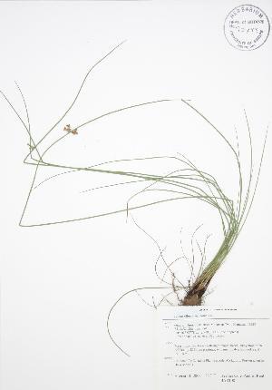 (Juncus effusus ssp solutus - BAR108)  @11 [ ] Copyright (2009) Steven Newmaster University of Guelph BIO Herbarium