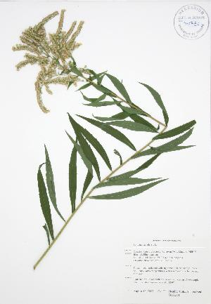 ( - BAR211)  @11 [ ] Copyright (2009) Steven Newmaster University of Guelph BIO Herbarium