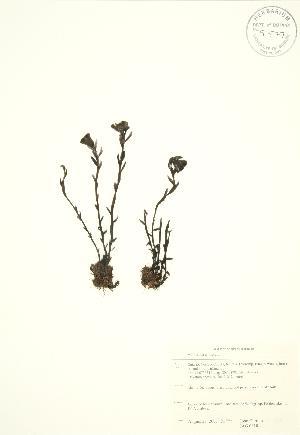 (Monotropa uniflora - JAG 0818)  @11 [ ] Copyright (2009) Steven Newmaster University of Guelph BIO Herbarium