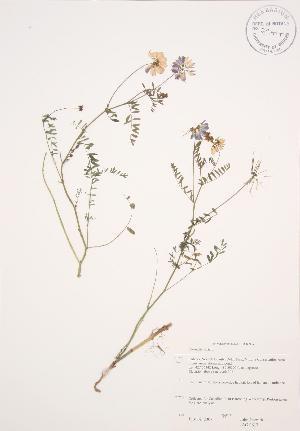(Coronilla - JAG 0617)  @11 [ ] Copyright (2009) Steven Newmaster University of Guelph BIO Herbarium
