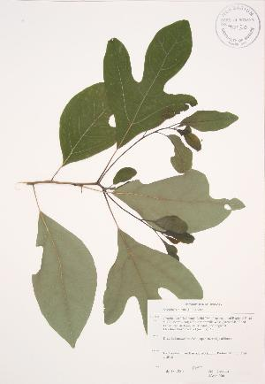 (Sassafras - JAG 0666)  @11 [ ] Copyright (2009) Steven Newmaster University of Guelph BIO Herbarium