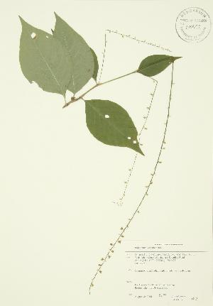 (Polygonum virginianum - JAG 0037)  @11 [ ] Copyright (2009) Steven Newmaster University of Guelph BIO Herbarium