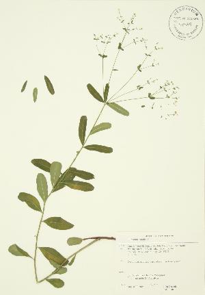 (Euphorbia corollata - JAG 0040)  @11 [ ] Copyright (2009) Steven Newmaster University of Guelph BIO Herbarium