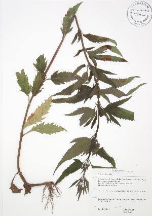 ( - JAG 0624)  @11 [ ] Copyright (2009) Steven Newmaster University of Guelph BIO Herbarium