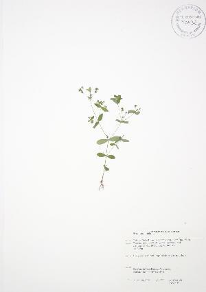 (Hypericum mutilum - JAG 0047)  @11 [ ] Copyright (2009) Steven Newmaster University of Guelph BIO Herbarium