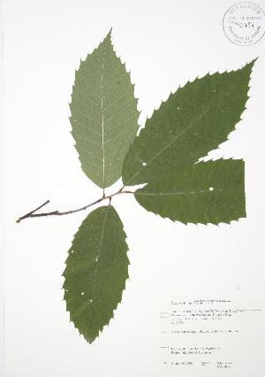 (Castanea dentata - JAG 0049)  @11 [ ] Copyright (2009) Steven Newmaster University of Guelph BIO Herbarium
