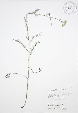 ( - JAG 0079)  @11 [ ] Copyright (2009) Steven Newmaster University of Guelph BIO Herbarium