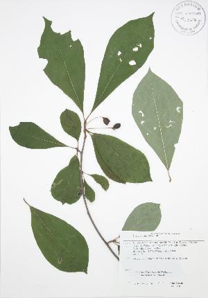 (Nyssa - JAG 0110)  @11 [ ] Copyright (2009) Steven Newmaster University of Guelph BIO Herbarium