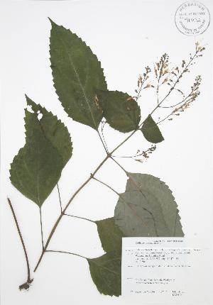 (Collinsonia - JAG 0104)  @11 [ ] Copyright (2009) Steven Newmaster University of Guelph BIO Herbarium