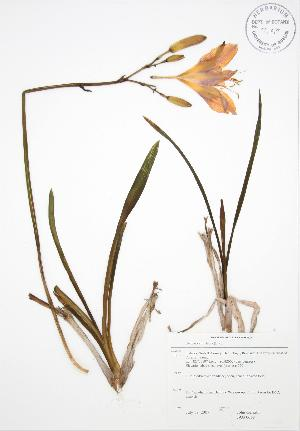 (Hemerocallis fulva - JAG 0668)  @11 [ ] Copyright (2009) Unspecified University of Guelph BIO Herbarium