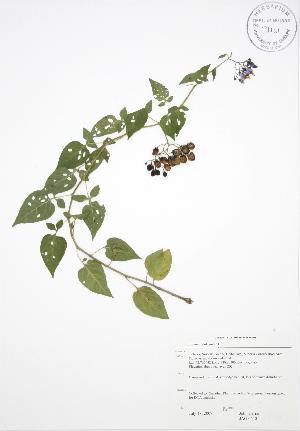 (Solanum dulcamara - JAG 0640)  @11 [ ] Copyright (2009) Unspecified University of Guelph BIO Herbarium