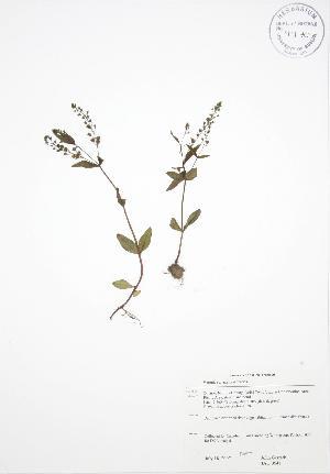(Veronica anagallisaquatica - JAG 0641)  @11 [ ] Copyright (2009) Steven Newmaster University of Guelph BIO Herbarium