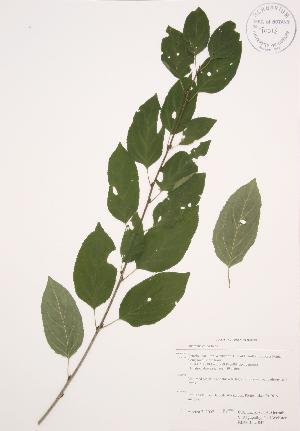 ( - RBGB 042)  @11 [ ] Copyright (2009) Steven Newmaster University of Guelph BIO Herbarium