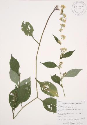 ( - AP334)  @11 [ ] Copyright (2009) Steven Newmaster University of Guelph BIO Herbarium