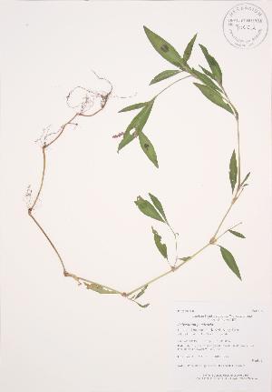 (Polygonum persicaria - AP295)  @11 [ ] Copyright (2009) Steven Newmaster University of Guelph BIO Herbarium