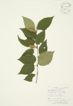 (Betula alleghaniensis - AP267)  @11 [ ] Copyright (2009) Steven Newmaster University of Guelph BIO Herbarium