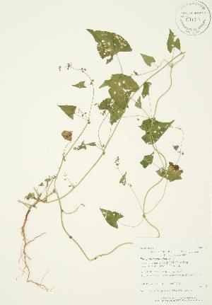 (Polygonum convolvulus - AP384)  @11 [ ] Copyright (2009) Steven Newmaster University of Guelph BIO Herbarium