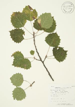 (Populus grandidentata - AP425)  @11 [ ] Copyright (2009) Unspecified University of Guelph BIO Herbarium
