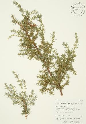 (Juniperus communis - AP204)  @11 [ ] Copyright (2009) Steven Newmaster University of Guelph BIO Herbarium