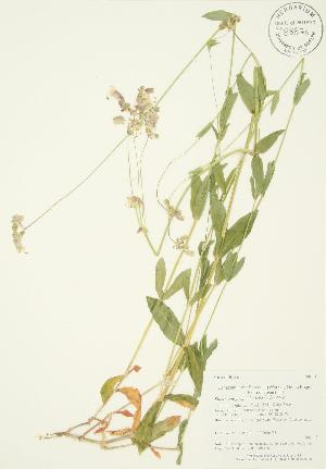 (Silene vulgaris - AP110)  @11 [ ] Copyright (2009) Steven Newmaster University of Guelph BIO Herbarium