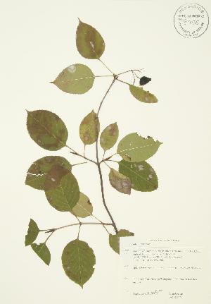 (Viburnum lentago - JAG 0146)  @11 [ ] Copyright (2009) Steven Newmaster University of Guelph BIO Herbarium