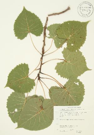(Populus deltoides - JAG 0061)  @11 [ ] Copyright (2009) Unspecified University of Guelph BIO Herbarium