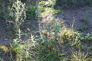 (Lamiaceae - IBO-DEMATT-44)  @11 [ ] Copyright (2014) IBONE IBONE