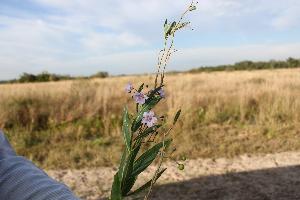 (Solanum glaucophyllum - IBO-DEMATT-49)  @11 [ ] Copyright (2014) IBONE IBONE