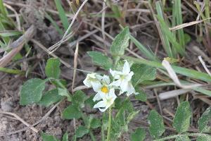 (Solanum commersonii - IBO-DEMATT-51)  @11 [ ] Copyright (2014) IBONE IBONE