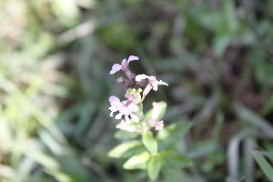 (Cuphea racemosa subsp racemosa - IBO-DEMATT-79)  @11 [ ] Copyright (2014) IBONE IBONE