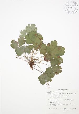 (Waldsteinia - BAR179)  @11 [ ] Copyright (2009) Steven Newmaster University of Guelph BIO Herbarium