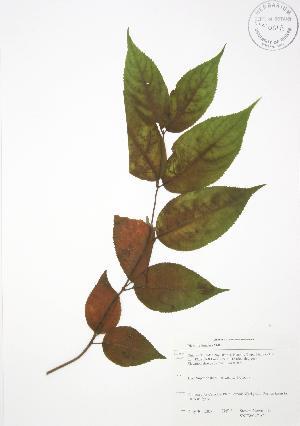 (Diervilla - SNEW047_C)  @11 [ ] Copyright (2009) Steven Newmaster University of Guelph BIO Herbarium
