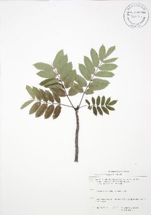 (Sorbus decora - SNEW059_C)  @11 [ ] Copyright (2009) Steven Newmaster University of Guelph BIO Herbarium