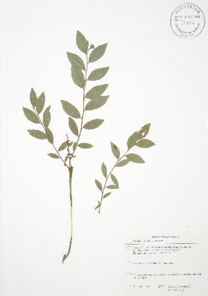 ( - SNEW064_C)  @11 [ ] Copyright (2009) Steven Newmaster University of Guelph BIO Herbarium