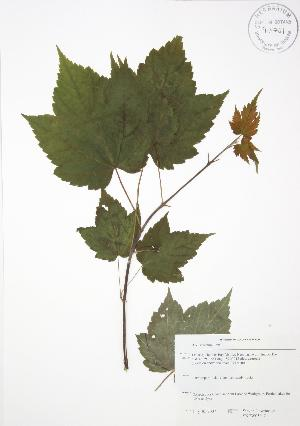 (Acer spicatum - SNEW050_C)  @13 [ ] Copyright (2009) Steven Newmaster University of Guelph BIO Herbarium