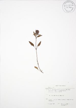 (Prunella - SNEW052_C)  @11 [ ] Copyright (2009) Unspecified University of Guelph BIO Herbarium