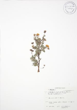 (Potentilla fruticosa - SNEW057_C)  @11 [ ] Copyright (2009) Unspecified University of Guelph BIO Herbarium