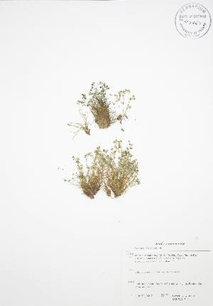 (Sagina - SNEW013_C)  @11 [ ] Copyright (2009) Steven Newmaster University of Guelph BIO Herbarium