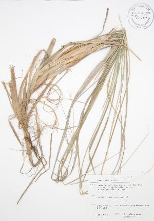 (Ammophila breviligulata - SNEW015_C)  @11 [ ] Copyright (2009) Steven Newmaster University of Guelph BIO Herbarium
