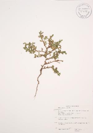 (Polygonum achoreum - JAG 0134)  @11 [ ] Copyright (2009) Steven Newmaster University of Guelph BIO Herbarium