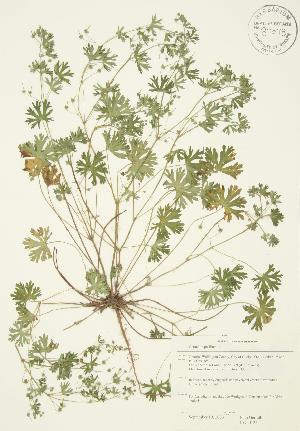 (Geranium pusillum - JAG 0125)  @11 [ ] Copyright (2009) Steven Newmaster University of Guelph BIO Herbarium