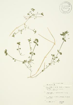 (Stellaria media - JAG 0419)  @11 [ ] Copyright (2009) Steven Newmaster University of Guelph BIO Herbarium