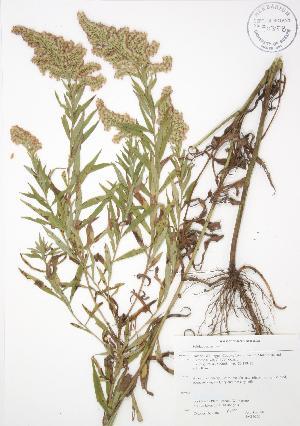 ( - JAG 0260)  @11 [ ] Copyright (2009) Steven Newmaster University of Guelph BIO Herbarium