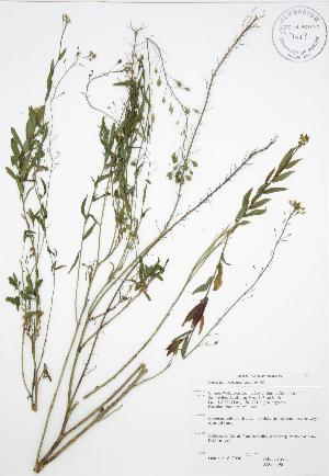 (Camelina - JAG 0296)  @11 [ ] Copyright (2009) Unspecified University of Guelph BIO Herbarium