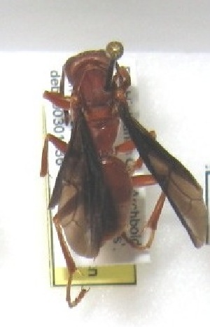 (Polistes sp. Buck-5 - PMAE0060)  @12 [ ] Unspecified (default): All Rights Reserved  Unspecified Unspecified
