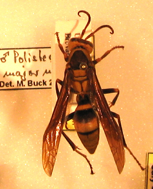 (Polistes major - PMAE0099)  @13 [ ] Unspecified (default): All Rights Reserved  Unspecified Unspecified