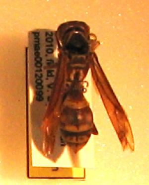 (Polistes texanus - PMAE0159)  @13 [ ] Unspecified (default): All Rights Reserved  Unspecified Unspecified