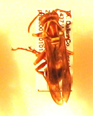 (Polistes apachus - PMAE0161)  @13 [ ] Unspecified (default): All Rights Reserved  Unspecified Unspecified