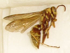 (Polistes apachus - PMAE0284)  @13 [ ] Unspecified (default): All Rights Reserved  Unspecified Unspecified